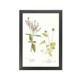 1924年代 アメリカ アンティーク ボタニカル アート 植物画 ブルーバーベイン スミレ フレームセット