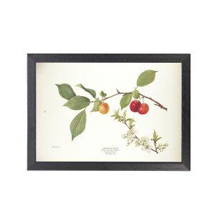 1924年代 アメリカ アンティーク ボタニカル アート 植物画 スモモ フレームセット