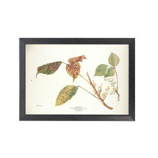 1924年代 アメリカ アンティーク ボタニカル アート 植物画 ツタウルシ フレームセット