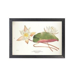 1924年代 アメリカ アンティーク ボタニカル アート 植物画 スイレン オドラータ フレームセット