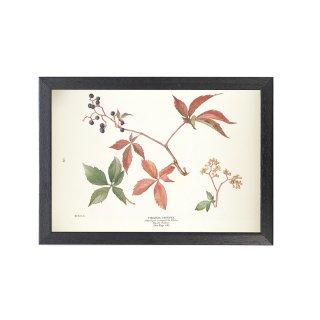 1924年代 アメリカ アンティーク ボタニカル アート 植物画 アメリカヅタ フレームセット