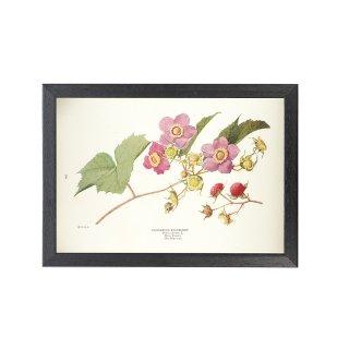 1924年代 アメリカ アンティーク ボタニカル アート 植物画 バージニアラズベリー フレームセット