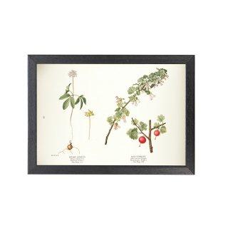1924年代 アメリカ アンティーク ボタニカル アート 植物画 パナックストリフォリアス  ワックススグリ フレームセット