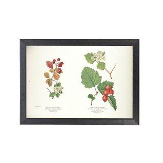 1924年代 アメリカ アンティーク ボタニカル アート 植物画 サンザシ フレームセット