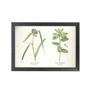 1924年代 アメリカ アンティーク ボタニカル アート 植物画 オオムラサキツユクサ ハツユキソウ フレームセット
