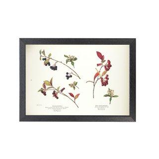 1924年代 アメリカ アンティーク ボタニカル アート 植物画 チョークベリー フレームセット
