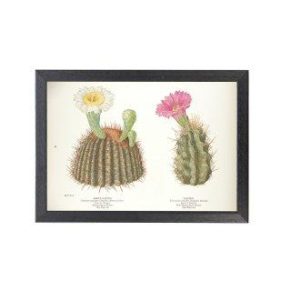 1924年代 アメリカ アンティーク ボタニカル アート 植物画 カクタス サボテン フレームセット