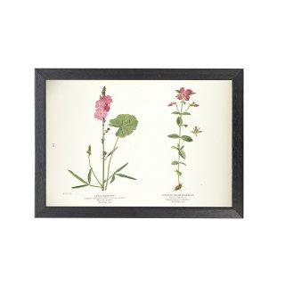 1924年代 アメリカ アンティーク ボタニカル アート 植物画 シダルセア フレームセット