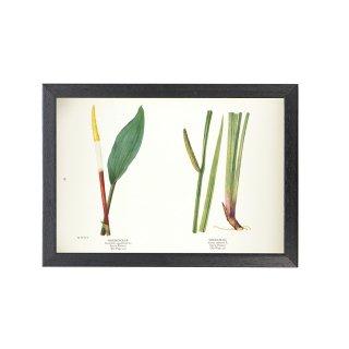 1924年代 アメリカ アンティーク ボタニカル アート 植物画 フローティングポトス 菖蒲 フレームセット