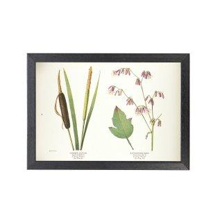 1924年代 アメリカ アンティーク ボタニカル アート 植物画 ガマ ナバルスアルバス フレームセット