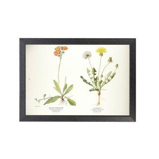1924年代 アメリカ アンティーク ボタニカル アート 植物画 タンポポ フレームセット