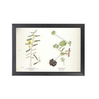 1924年代 アメリカ アンティーク ボタニカル アート 植物画 エンドウ豆 ラフレシア フレームセット