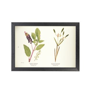 1924年代 アメリカ アンティーク ボタニカル アート 植物画 ヤマゴボウ コカナダモ フレームセット