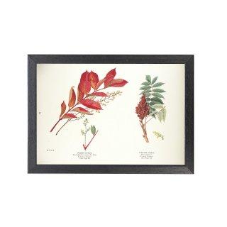 1924年代 アメリカ アンティーク ボタニカル アート 植物画 ウルシ ルスグラブラ フレームセット