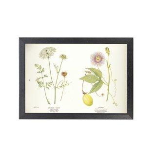 1924年代 アメリカ アンティーク ボタニカル アート 植物画 ノラニンジン チャボトケイソウ フレームセット