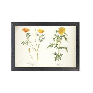 1924年代 アメリカ アンティーク ボタニカル アート 植物画 ハナビシソウ ポピー フレームセット