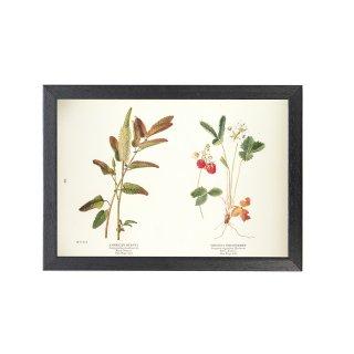 1924年代 アメリカ アンティーク ボタニカル アート 植物画 オランダイチゴ ワレモコウ フレームセット
