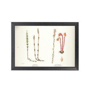 1924年代 アメリカ アンティーク ボタニカル アート 植物画 ツクシ シャクジョウソウ フレームセット
