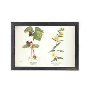 1924年代 アメリカ アンティーク ボタニカル アート 植物画 エンレイソウ カロライナジャスミン フレームセット