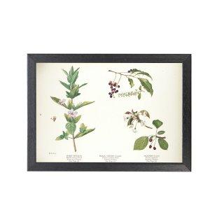 1924年代 アメリカ アンティーク ボタニカル アート 植物画 ペチュニア ブラックチェリー セイヨウミザクラ フレームセット