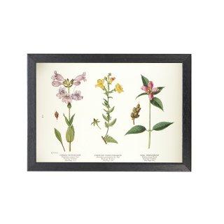 1924年代 アメリカ アンティーク ボタニカル アート 植物画 ペンステモン キツネノテブクロ リオン フレームセット