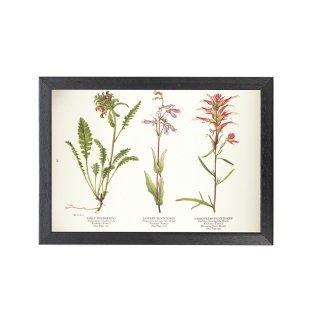1924年代 アメリカ アンティーク ボタニカル アート 植物画 シオガマギク イワブクロ フレームセット