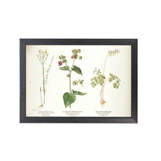 1924年代 アメリカ アンティーク ボタニカル アート 植物画 リナム オシロイバナ フレームセット