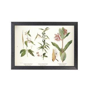1924年代 アメリカ アンティーク ボタニカル アート 植物画 トウワタ キョウチクトウ フレームセット