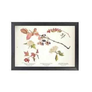 1924年代 アメリカ アンティーク ボタニカル アート 植物画 アメリカンカンボク ガマズミ フレームセット