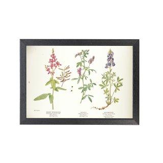 1924年代 アメリカ アンティーク ボタニカル アート 植物画 アレチヌスビトハギ ムラサキウマゴヤシ ブルーボネット フレームセット
