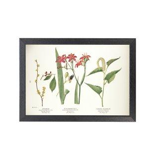 1924年代 アメリカ アンティーク ボタニカル アート 植物画 リンデラ・ベンゾイン ヒオウギ フレームセット