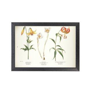 1924年代 アメリカ アンティーク ボタニカル アート 植物画 ユリ リリウムカナデンセ フレームセット