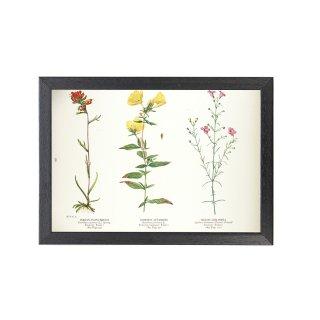 1924年代 アメリカ アンティーク ボタニカル アート 植物画 キダチマツヨイグサ フレームセット