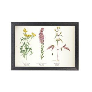 1924年代 アメリカ アンティーク ボタニカル アート 植物画 タンジー キク科 フレームセット