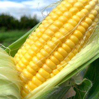 mama-yasai トウモロコシ 10本セット【ブラザーズの大好物!コレさえあれば、子どもたちは超ゴキゲン♪♪】【現在、発送まで10日待ち】