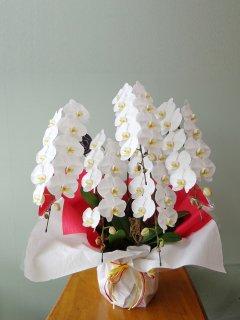 胡蝶蘭 5本立ち大輪(60輪程度)