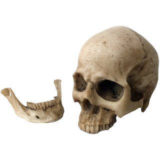 スモール リアルスカルヘッド ヒューマンスカル Small Human Skull Head