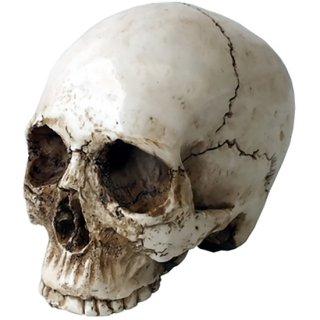 スモール リアルスカルヘッド(顎無し) Small Real Skull Head
