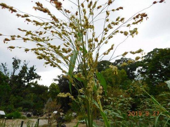 モロコシ(蜀黍、唐黍) - 薬草と花紀行のホームページ