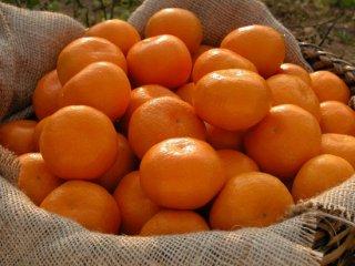 樹上甘熟みかん金の箱約8kg6,360円(S〜L)(約70個~80個)