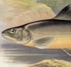 British Fresh Water Fishes