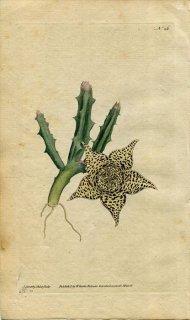 1787年 Curtis Botanical Magazine No.26 キョウチクトウ科 ケロペギア属 STAPELIA VARIEGATA 多肉植物