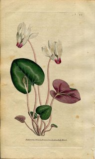 1787年 Curtis Botanical Magazine No.44 サクラソウ科 シクラメン CYCLAMEN PERSICUM