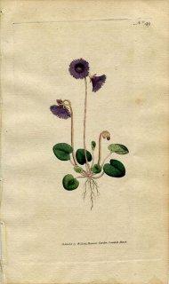 1787年 Curtis Botanical Magazine No.49 サクラソウ科 イワカガミダマシ SOLDANELLA ALPINA