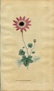 1787年 Curtis Botanical Magazine No.53 キク科 シネラリア CINERARIA LANATA