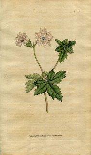 1787年 Curtis Botanical Magazine No.55 フウロソウ科 ゲラニウム・ストリアタム GERANIUM STRIATUM