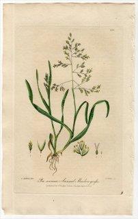 1839年 Baxter British Phaenogamous Botany Pl.288 イネ科 イチゴツナギ属 スズメノカタビラ Poa Annua