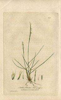 1839年 Baxter British Phaenogamous Botany Pl.300 イネ科 オガルカヤ属 Nardus Stricta
