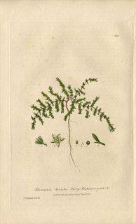 1839年 Baxter British Phaenogamous Botany Pl.304 ナデシコ科 コゴメビユ属 Herniaria Hirsuta