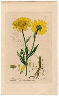 1839年 Baxter British Phaenogamous Botany Pl.306 キク科 シュンギク属 Chrysanthemum Segetum